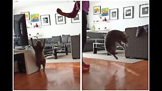 SLOW MOTION Chubby Cat Trying To Catch A Toy