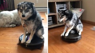 Lazy Dog Takes Ride Across Living Room Floor On Roomba