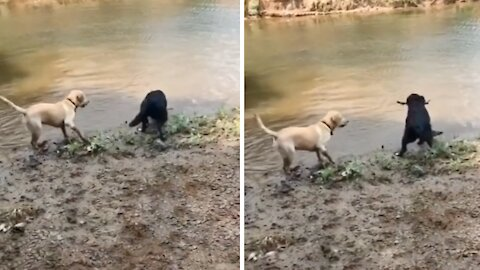 Dog purposely lets his friend win game of fetch