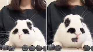 Bunny rabbit adorably munches on tasty blueberries
