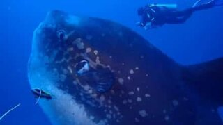 Diver swims with giant ocean sunfish