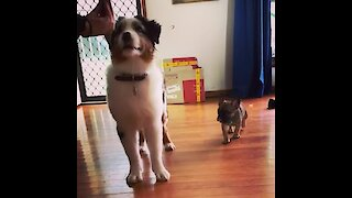 Frenchie puppy tries to distract dog from training