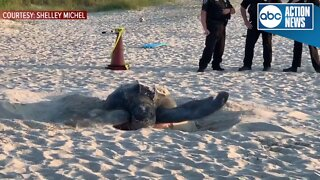 800-pound endangered sea turtle nests on Melbourne Beach