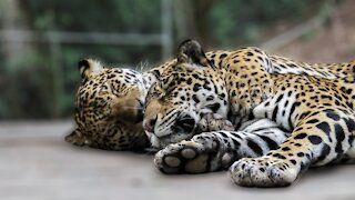 Adorable rescued jaguars show affection to each other