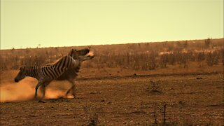 Zebra performs dangerous kick during fight with opponent
