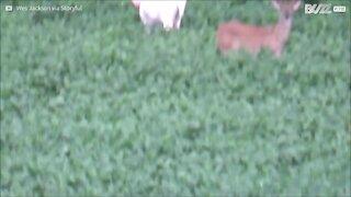 Rarissimo: cervo albino avvistato in Illinois!