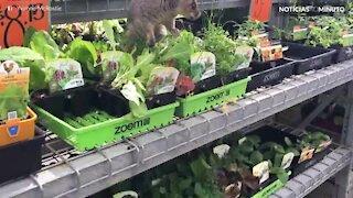 Gambá faz compras em supermercado na Austrália