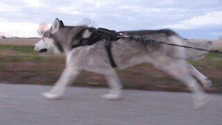 Mushing huskies love pulling their owners on longboards