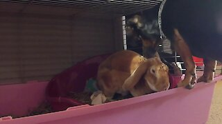 Dachshund loves spending time with rabbit best friend