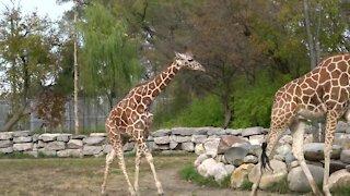 Detroit Zoo welcomes 2-year-old giraffe
