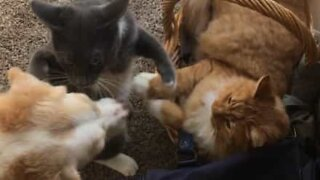 Dog ends supposed battle between cats