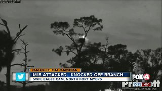 Fort Myers eagle attacked!