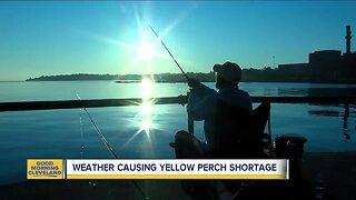 Weather causing yellow perch shortage