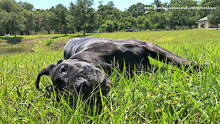 Happy Great Danes Loves Relaxing And Rolling In The Grass