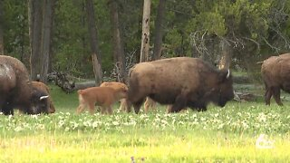 Yellowstone opens to smaller crowds