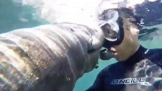 Diver makes friends with many manatees