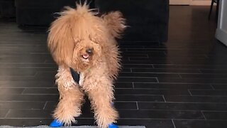 Goldendoodle Dog Needs Special Shoes To Help Him Walk