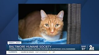 Raj the cat is up for adoption at the Baltimore Humane Society