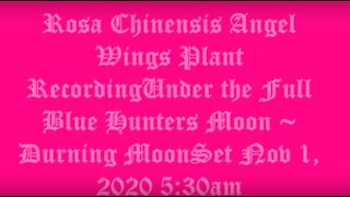 Rosa Chinensis Angel Wings Under the Full Blue Hunters Moon