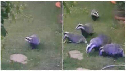 Texugos invadem jardim todos os dias!