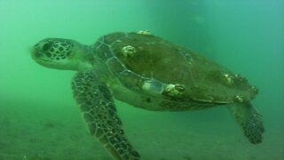 Green Sea Turtle - Jetty Park Pier Port Canaveral 5-9-2021