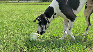 Playful Great Dane Crunches And Shreds Cabbage For Cole Slaw