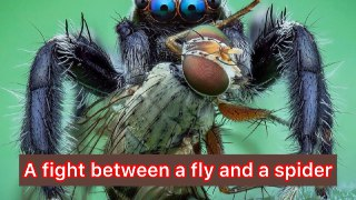 A fight between a fly and a spider