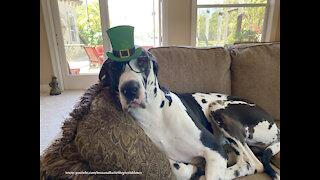 Great Dane makes a lovely St Patty's Day leprechaun