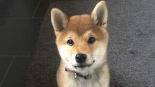 Shiba inu experiences snow for first time