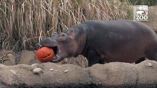 Animals enjoy Halloween treats at Cincinnati Zoo