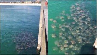Floridan vesillä kuvattiin valtava keihäsrauskuparvi