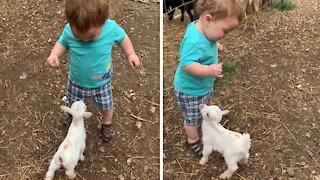 Baby goat adorably wants to befriend little boy