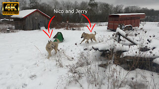 Wolfdog Nico and Kangal Puppy Jerry Playing in the Snow - 4K