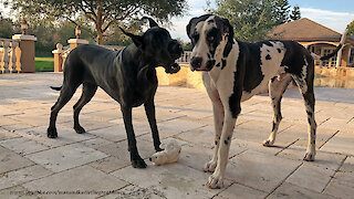 Selfish Great Dane refuses to share her toy