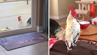 Angry rooster screams when he is not inside the house