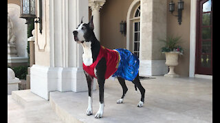 Wonder Woman Great Dane Watch Dog Guards Her House
