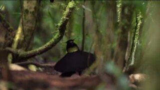 Bird Nice dance