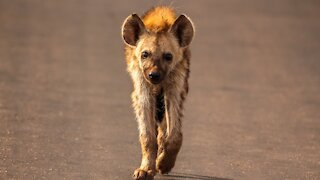 Laughing Hyenas have Epic Battle with Wild dogs