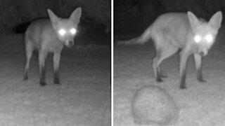 Backyard camera captures baby fox's encounter with a hedgehog