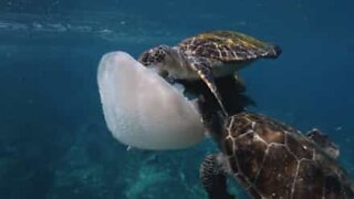 Three turtles share a delicious jellyfish
