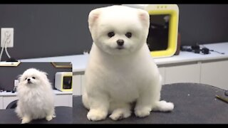 CUTEST PUPPIES - CUTE DOGS BEFORE AND AFTER GROOOM POMERANIAN EDITION