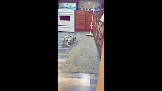 Great Dane puppy barks at mop nemesis