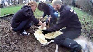 Hjort i England bliver reddet efter at have siddet fast i et hegn
