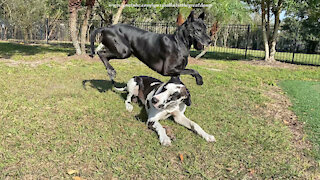 Great Danes play leap frog while arguing over stick