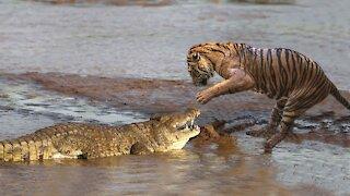 tiger attacking crocodile - Tiger kills Croccodile