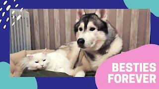 Cat loves giving her Husky best friend a massage