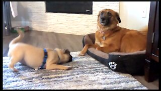 Cute pug puppy annoys big doggy with his barking