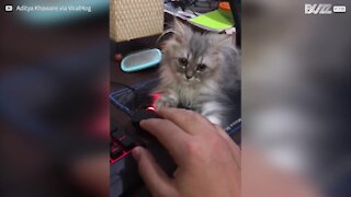 Ridiculously cute kitten won't let go of PC mouse