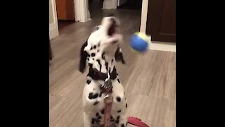 Dalmatian puppy fails in epic fashion while trying to catch a ball