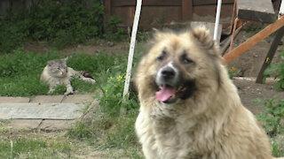 Siamese cat and Caucasian shepherd